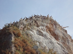 A large rock, completely carpeted in pelicans.